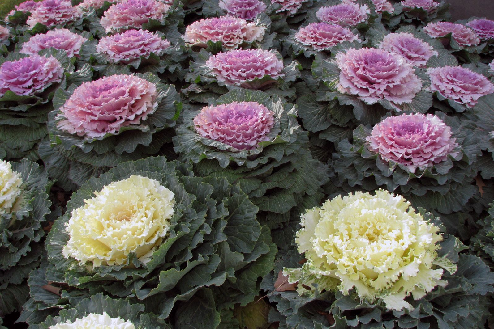 Autumn S Ornamental Kales And Cabbages Watters Garden Center Ornamental Cabbage Ornamental Kale Flowering Kale