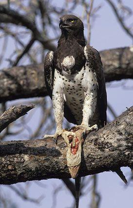 Águia marcial, Polemaetus bellicosus, com lagarto monitor, Parque Nacional de Kruger, África do Sul (25540)