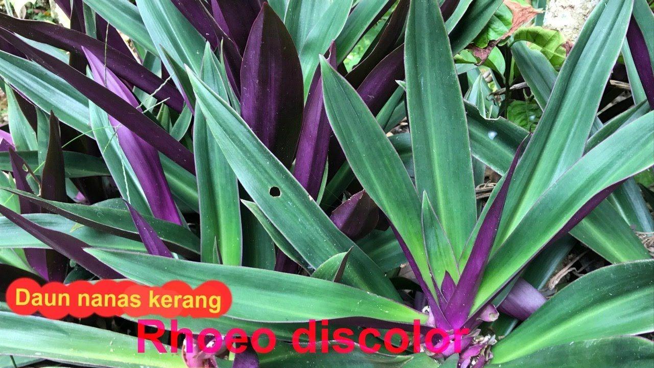 紫背萬年青 蚌蘭 的作用和功效 Daun Plants Nana