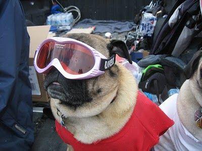 Pug Goggles Cute Baby Pugs Pugs Pugs In Costume