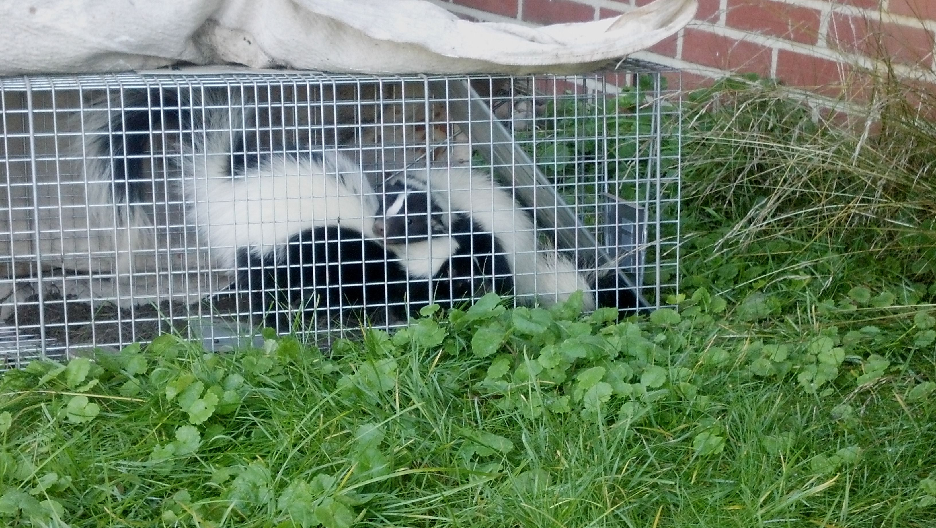 look close see it yep thats two skunks caught in the same trap