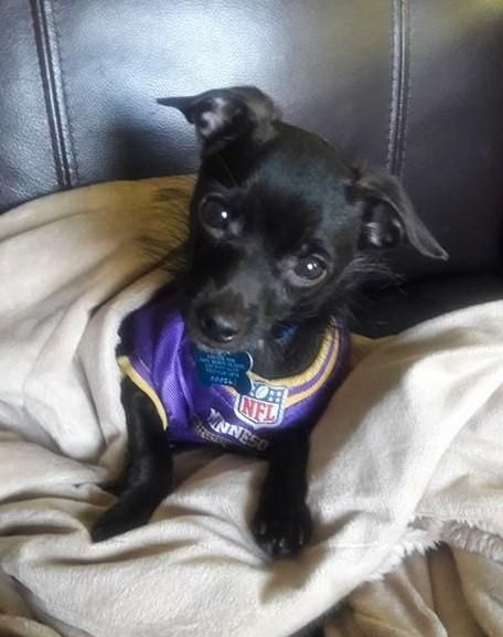 Adopt Cole On Dog Search Animal Rescue Chihuahua Mix