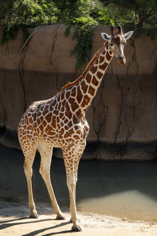 90 Giraffes Pictures Girafa