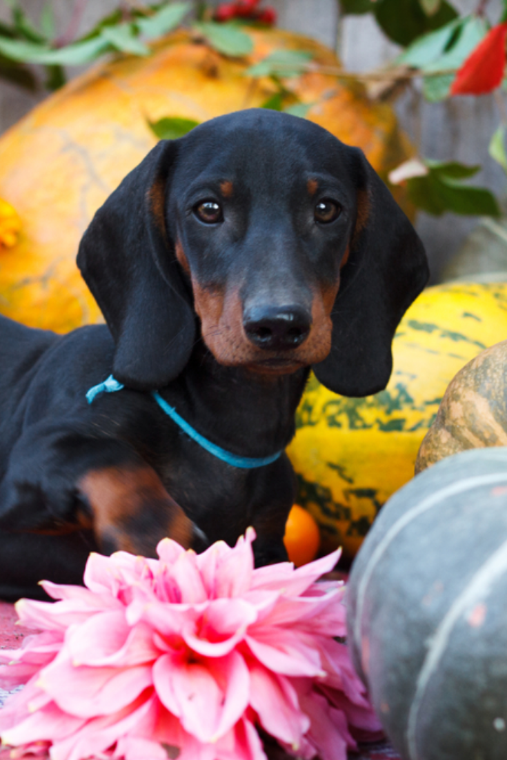 Cute dachshunds puppies dachshund Dachshund dog