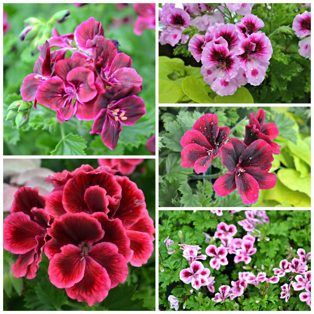 Martha washington geranium performing well in full sun to part 2014 top 10 annual list here at fairview garden center we have our own trial garden where fairview founder jo ann dewar plants the newest varieties of an izmirmasajfo
