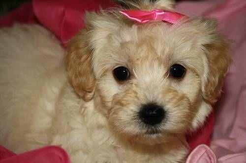 Johnsons Jewels Malti Poo Puppies Johnsonsjewels Webs Com