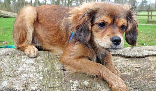 Cavapom Designer Dogs Breeds Unique Dog Breeds Mutt Dog