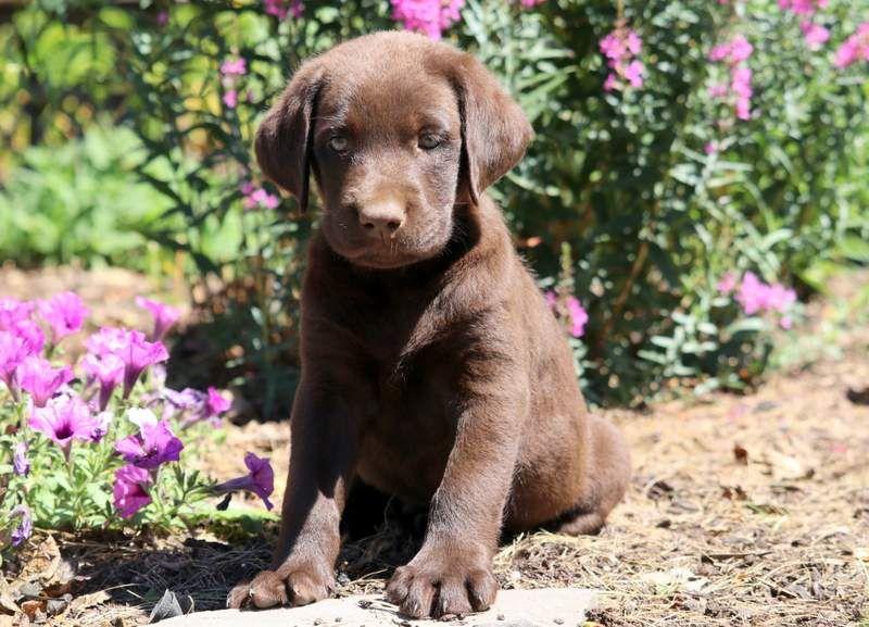 Houston Akita Puppy For Sale Keystone Puppies Lab Puppies Akita Puppies Labrador Retriever