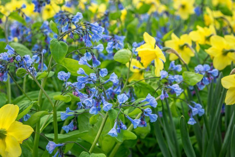These low maintenance perennials with blue flowers will look provide blooms in your garden in spring, summer and fall. Best of all, after they are planted, they won't require a lot of work! #BlueGardenFlowers #PerennialsWithBlueFlowers #LowMaintenancePerennials #EasyCarePlants #beautiful #Blue #Care #easy #Flowers #Gardening #home #House #long blooming Perennials #low maintenance Perennials #Perennials #Perennials full sun #Perennials ideas