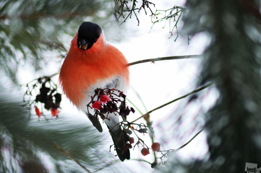 средства, фото зима снегири красные большие красивые выставки была
