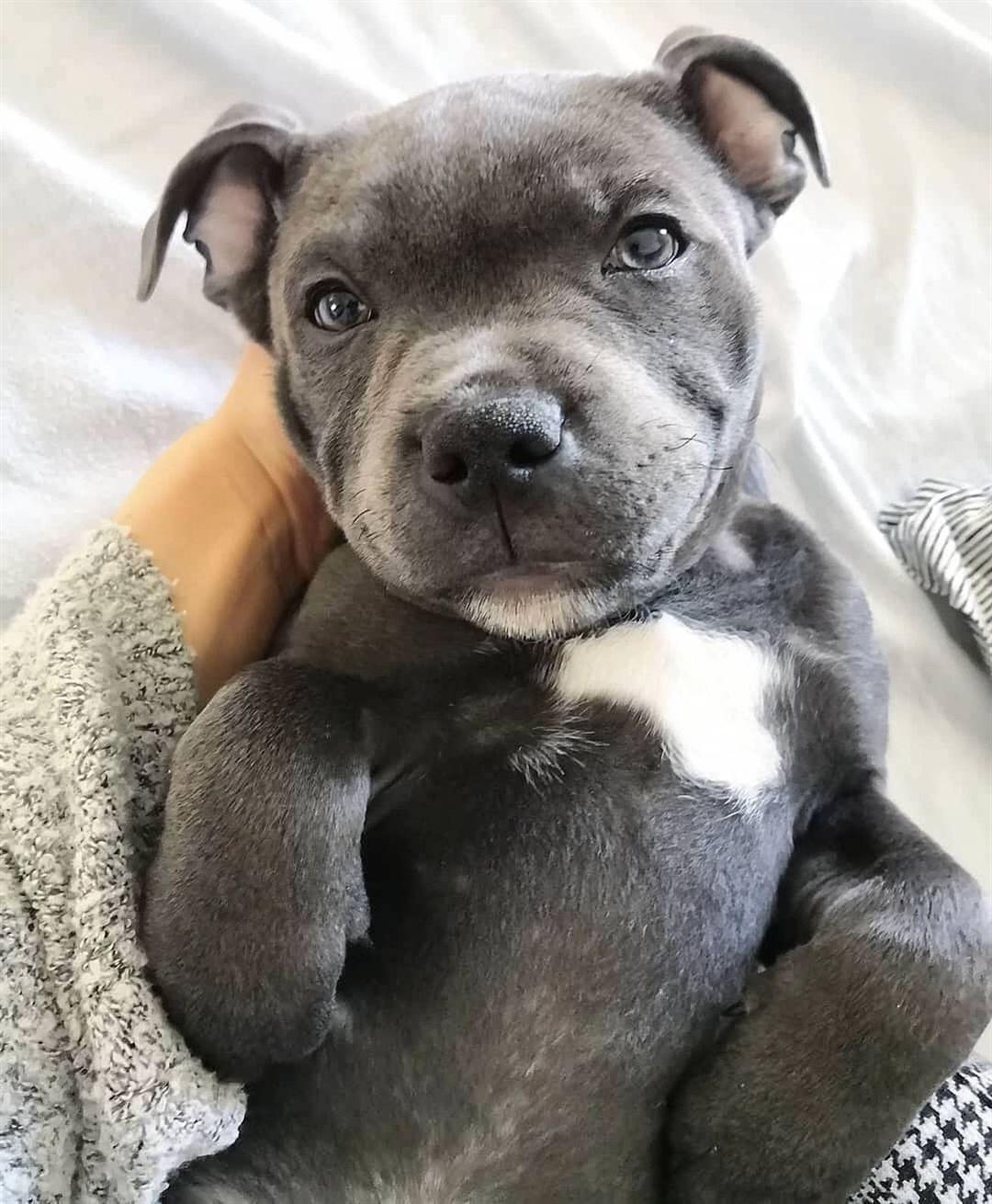 Kampfhunde Von Wegen Staffie Puppies Cute Pupies Pitbull Terrier