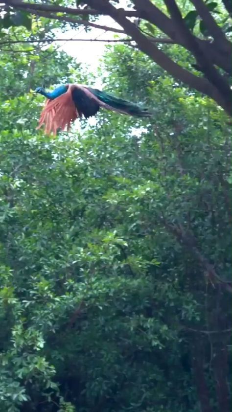 Have You Ever Seen a Peacock Flying - #fly #flying #Peacock