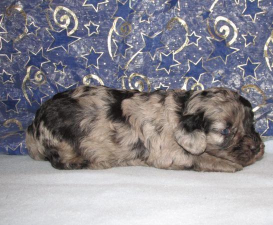 Blue Merle Cavababy 3 Cavachon Cavachon Puppies Puppies