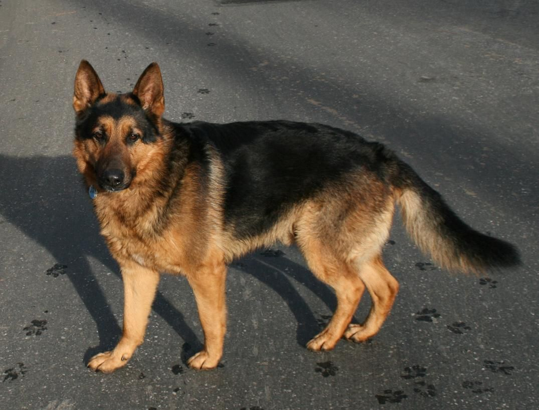 So Pretty I Want One To Name Jasper German Shepherd Dogs