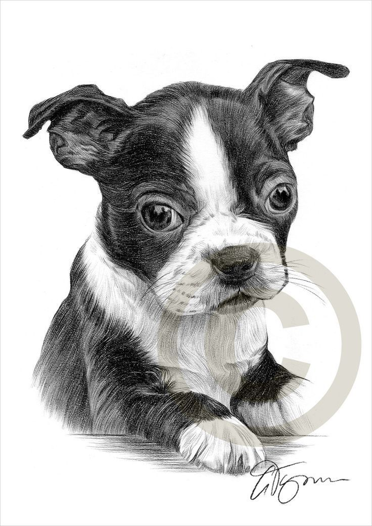 Boston Terrier Puppy Pencil Drawing Print Artwork Signed By Artist Gary Tymon Ltd Ed 50 Prints Only 2 Sizes Pet Portrait Boston Terrier Art Puppy Art Animal Drawings