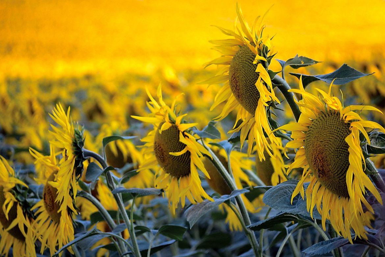 Infinity Yellows Spring wildflowers, Wild flowers