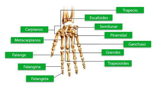 Huesos de la mano   salud   Pinterest   Hueso de la mano, Huesos y ...