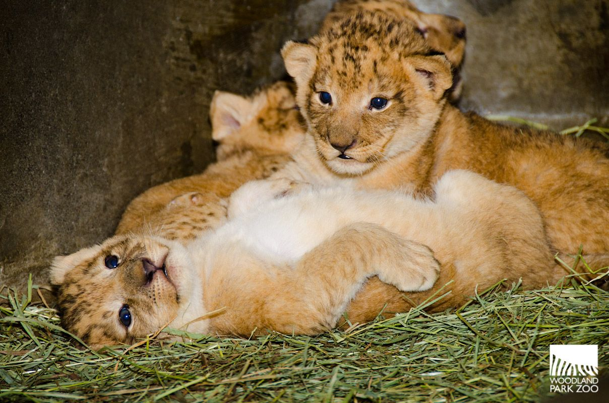 Sign Up Or Login To Myzoo Woodland Park Zoo Seattle Wa Zoo Babies Woodland Park Zoo South African Lions