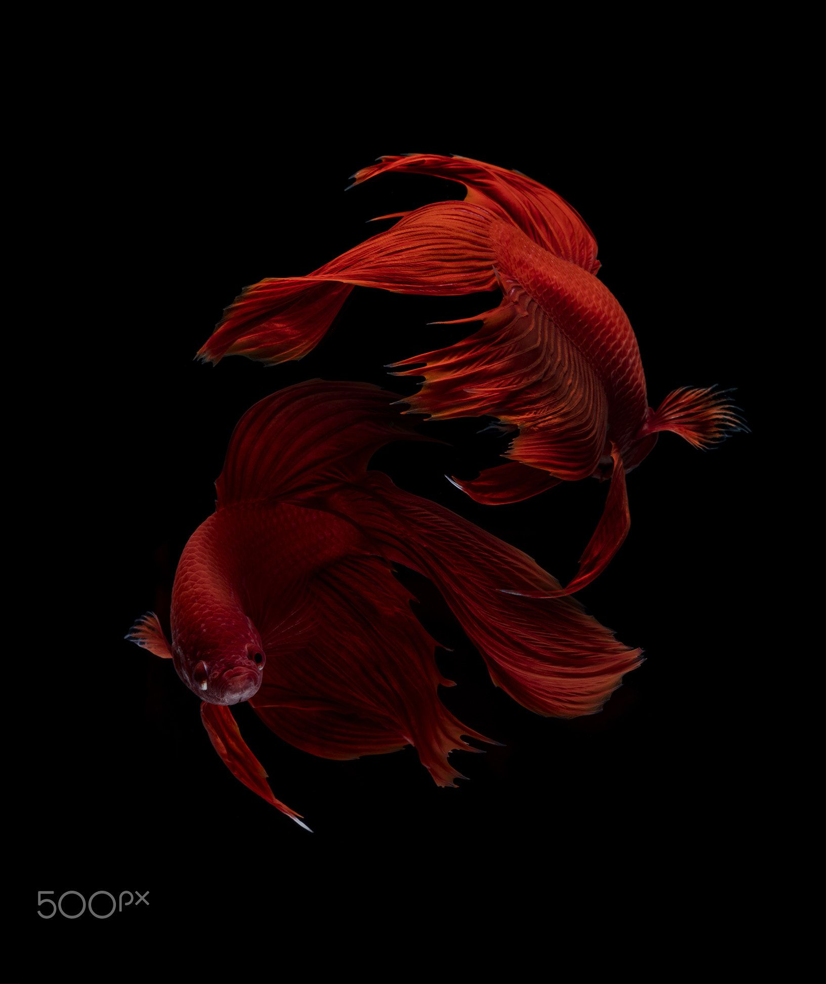 Red Betta Fish Composed With Software Over Black Background Two Red Betta Fish Swimming On Black Background Composed With Betta Fish Betta Black Backgrounds