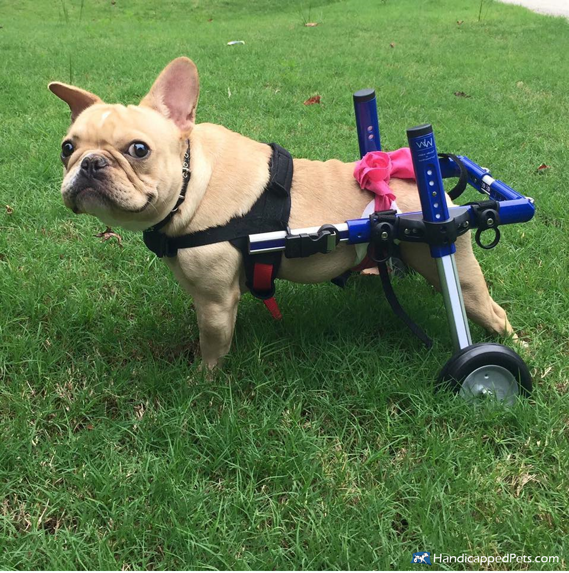 Pin By Walkin Pets By Handicappedpet On French Bulldogs On Wheels With Images Dog Wheelchair Dogs Your Pet