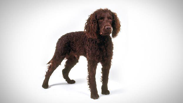 American Water Spaniel Dog Breed Selector American Water Spaniel Dog Breed Selector Spaniel