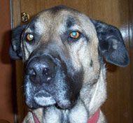 German Great Dane Great Dane German Shepherd Mixed Breed Dog