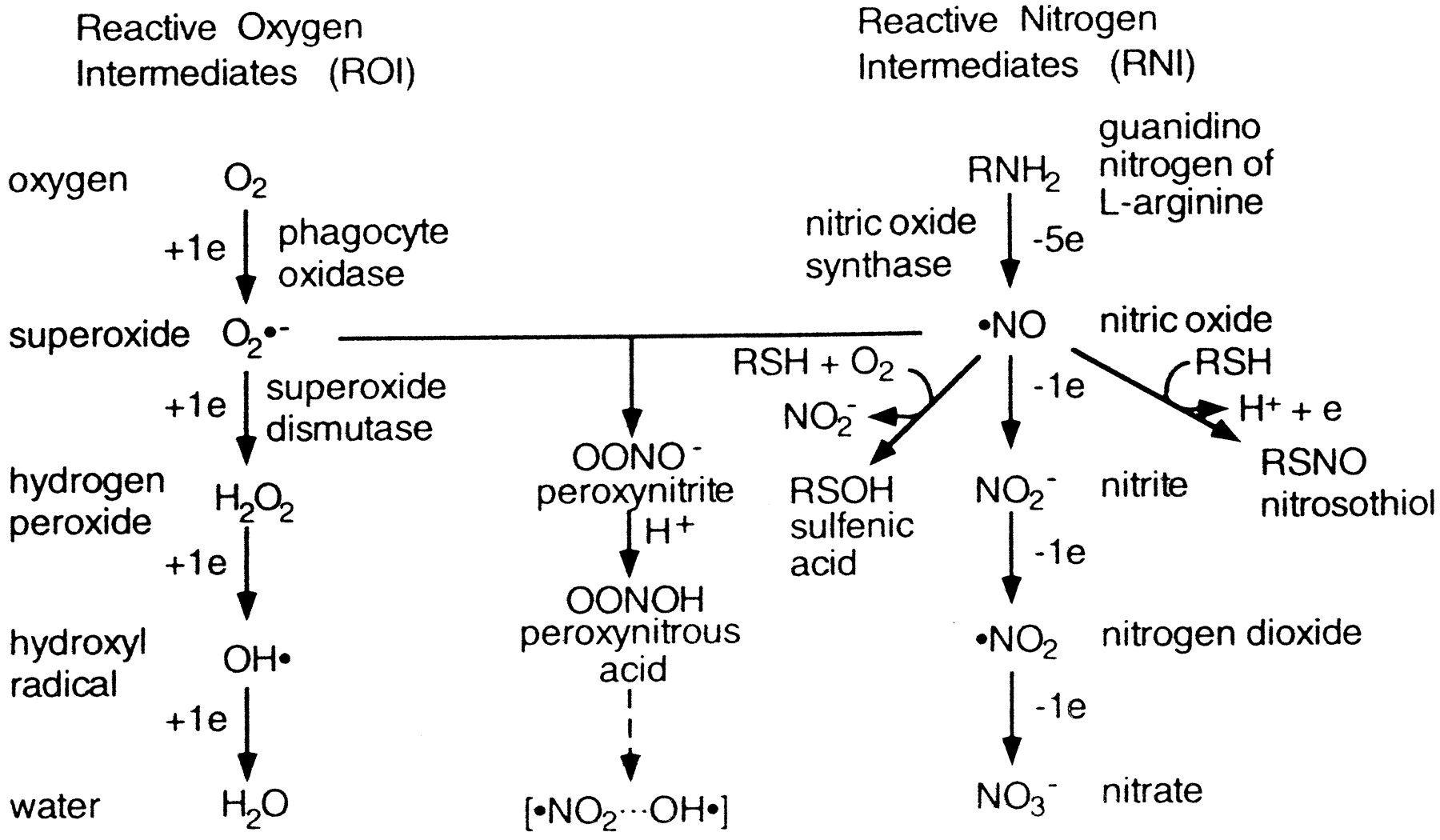 Reactive Nitrogen Species Hledat Googlem Reaktivn 237