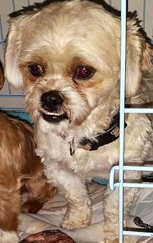 Shih Poo Dog For Adoption In Cary Nc Adn 542835 On Puppyfinder