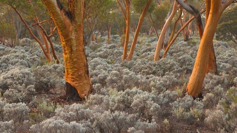 Copper Silver Hued Bark Adorns The Eucalyptus Salubris Trees Of