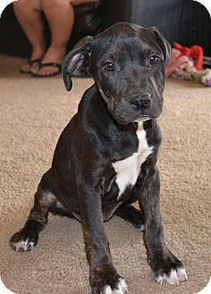 Chandler Az Labrador Retriever Boxer Mix Meet Lucy A Puppy For