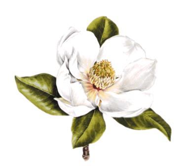 Magnolia Magnolia Tattoo Magnolia Blossom Magnolia Flower