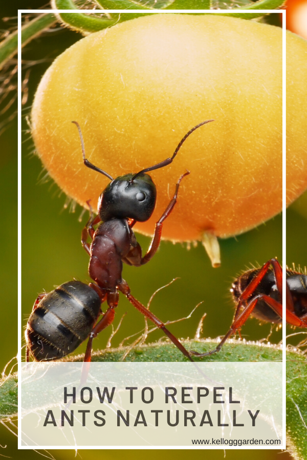 Natural Way To Keep Ants Off Plants Garden Pests Ants Ant Repellent