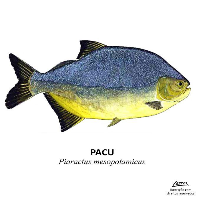 Extremamente Conheça as principais peixes e espécies esportivas de rios, lagos  HY93