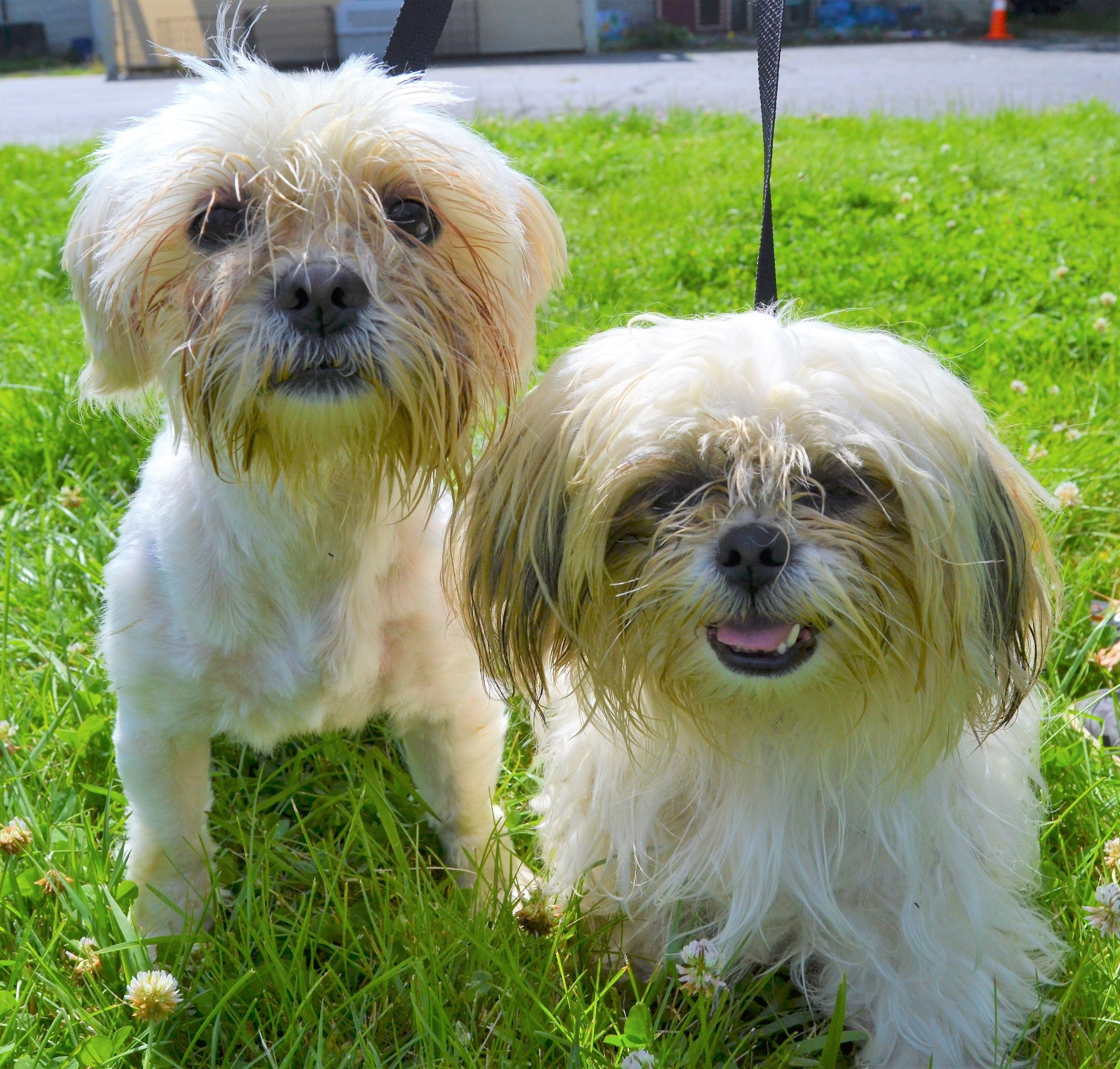 Adopt Fred Ginger On Shih Tzu Help Homeless Pets Pet Search