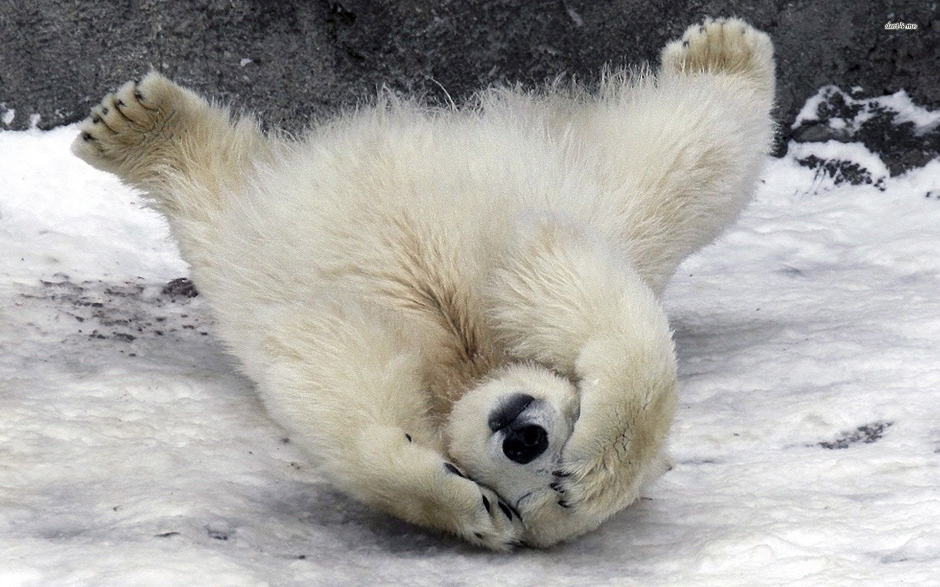 Polar Bear Playing In Snowing Wallpaper Ipicturee Com Baby