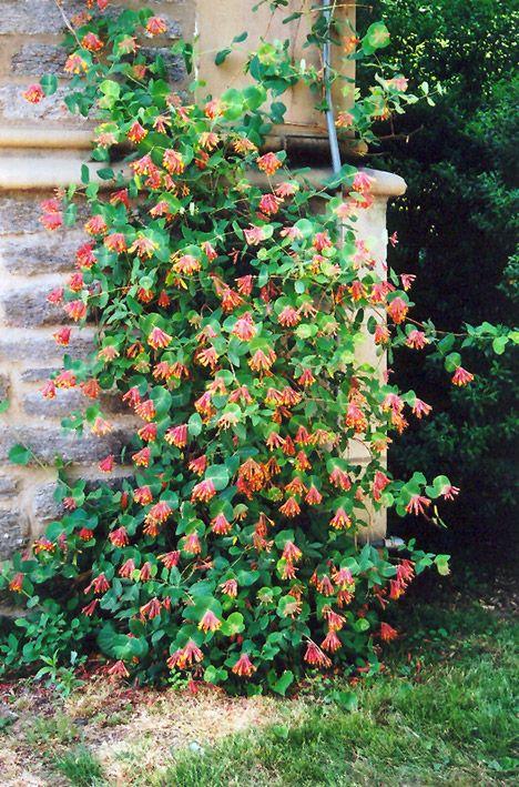 Trumpet Honeysuckle Climbing Plants Climbing Vines Plants