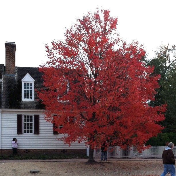 """""""The most beautiful tree in Colonial Williamsburg"""" by shoutsgurl via Instagram."""
