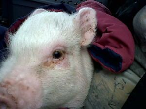 Pot Belly Pig Free To A Good Home Farm Palmerston Ont