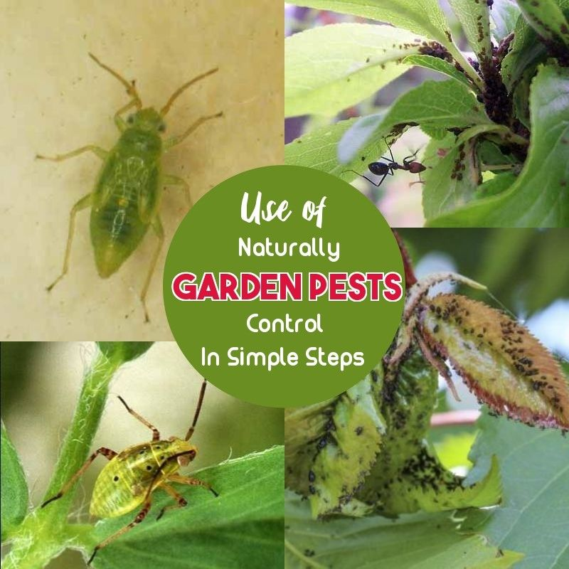 Safe And Effective Ways Of Natural Pest Control
