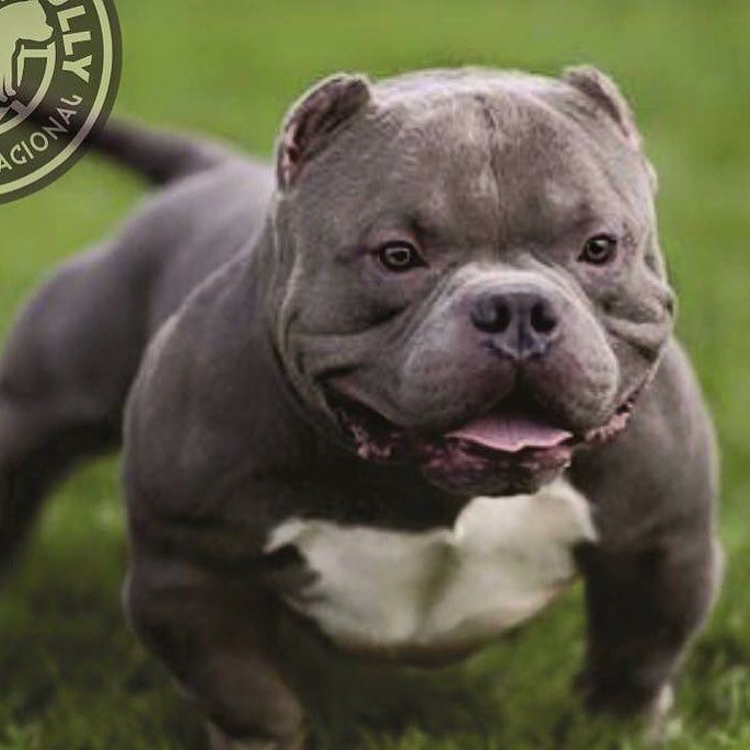 Instagram Photo By American Bully Apr 16 2016 At 10 36am Utc Bully Dog American Bully Pitbulls
