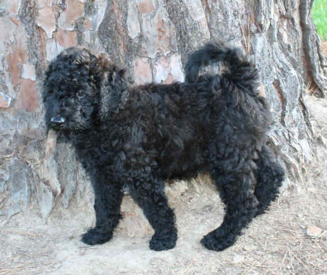 Doodles And Doodles Samie As A Puppy Father Of Double Doodle Litter Puppies Due 8 16 13 1 2 Labradoodle 1 2 Golden Double Doodle Goldendoodle Labradoodle