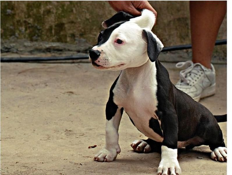 Pitbull Puppies Black And White Black And White Pitbull Pitbull Puppies Pitbulls