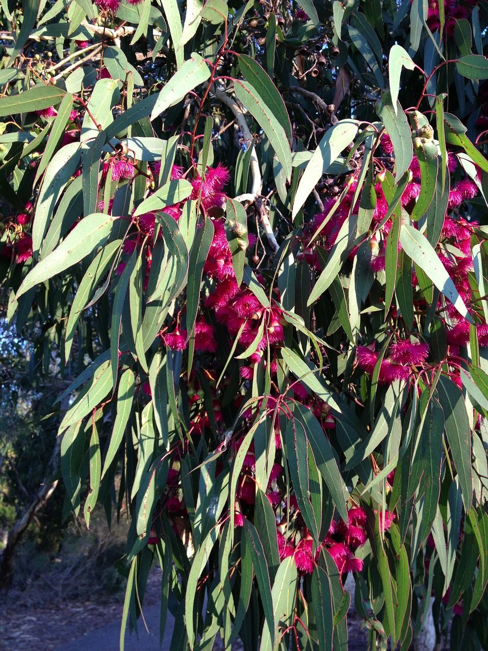 Australia Gum Tree Bloom Flowers Bush Spring Australia