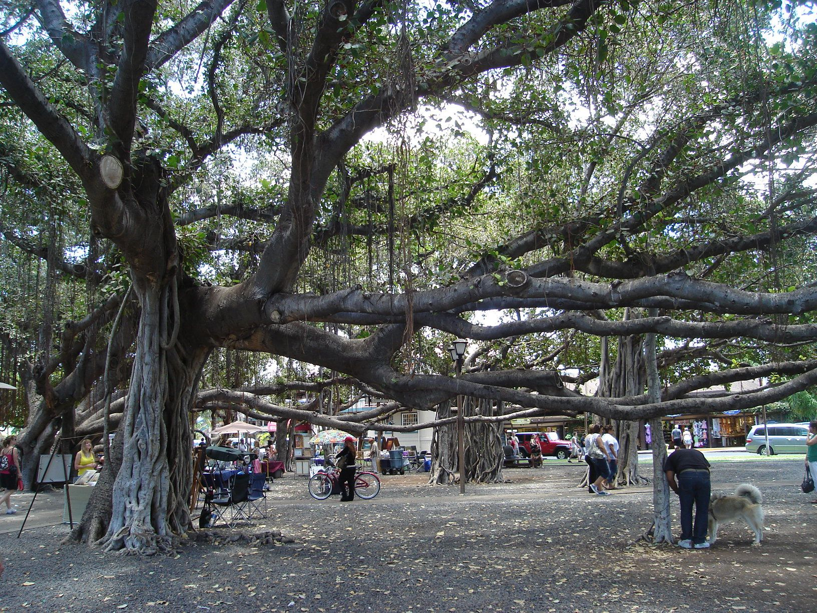 Banyan Tree Park Lahaina, Maui is located on Front Street in Courthouse Square and in walking distance to other downtown attractions. This is one of the stops on the walking tours of the historic town. It is the second largest Indian Banyan tree in the world!!