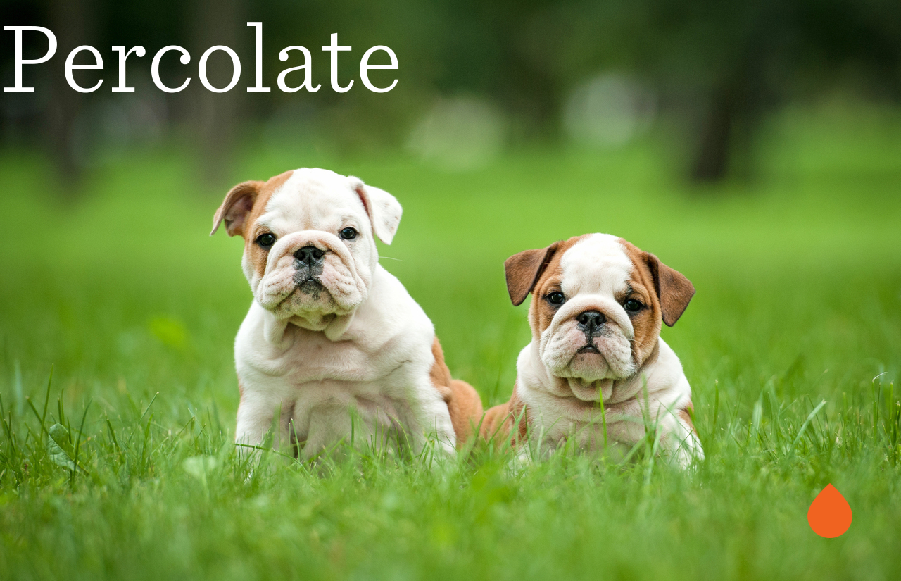 Pin by Percolate Test on Percolate Bulldog puppies