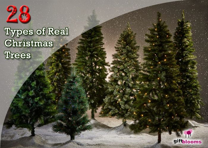 28 Types of Real Christmas Trees Around the World | Real ...