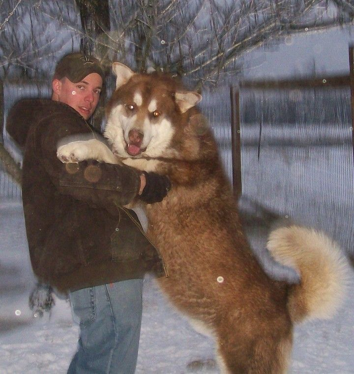 Red Giant Alaskan Malamute Wolf (page 3) - Pics about space