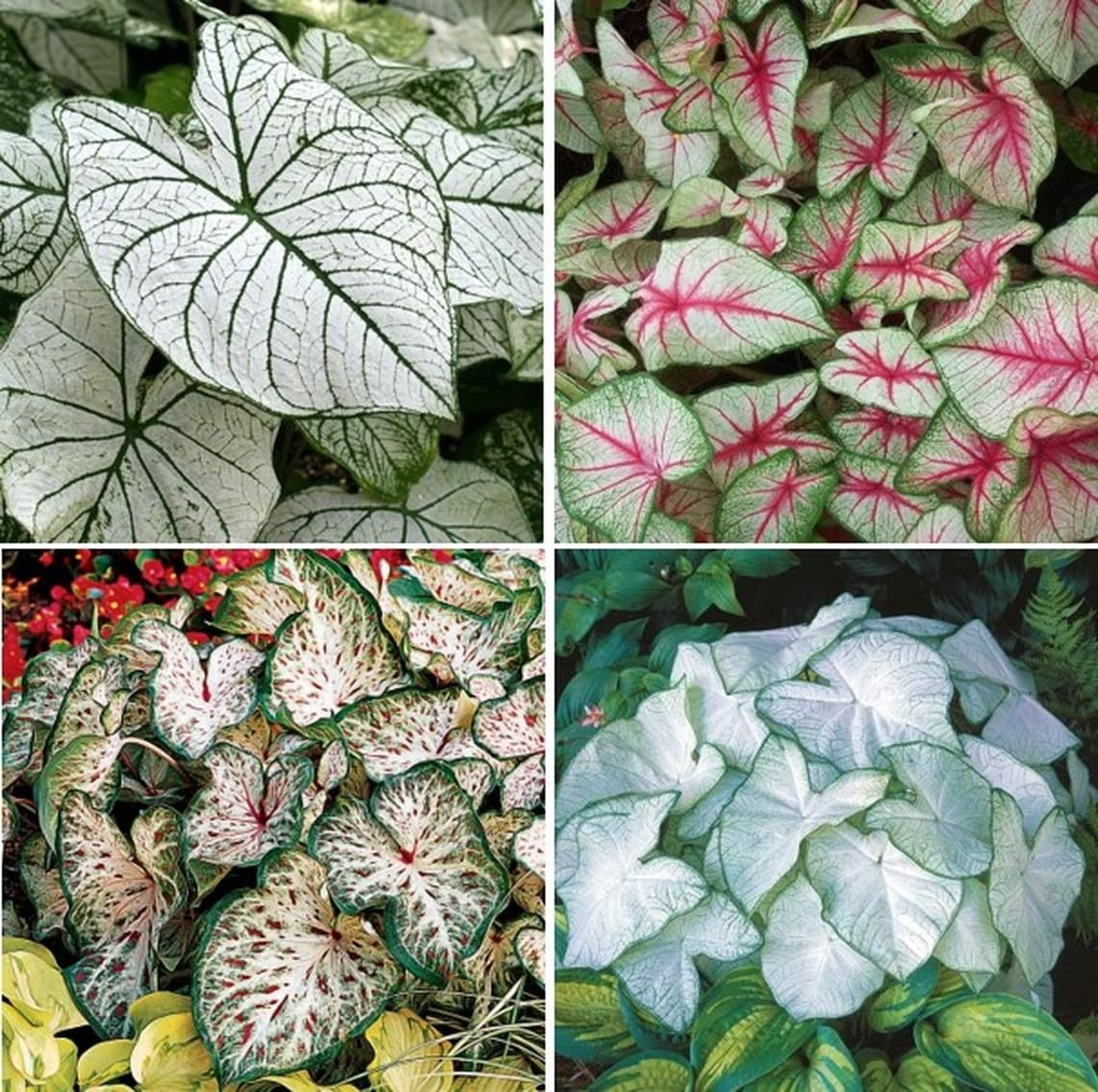 Caladium Bulbs White Mix Shipping Now Plants, Indoor