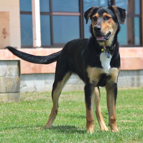 Pin By Dog Breeds On New Zealand Huntaway Dog Breeds Dogs Labrador Dog