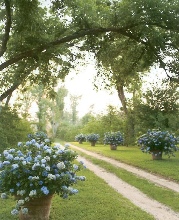 endless summer blue hydrangeas in big pots    love